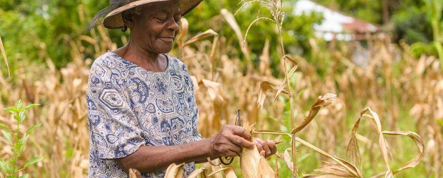 Jeanne, a beneficiary collecting corn in his garden in Laborde, Haiti,